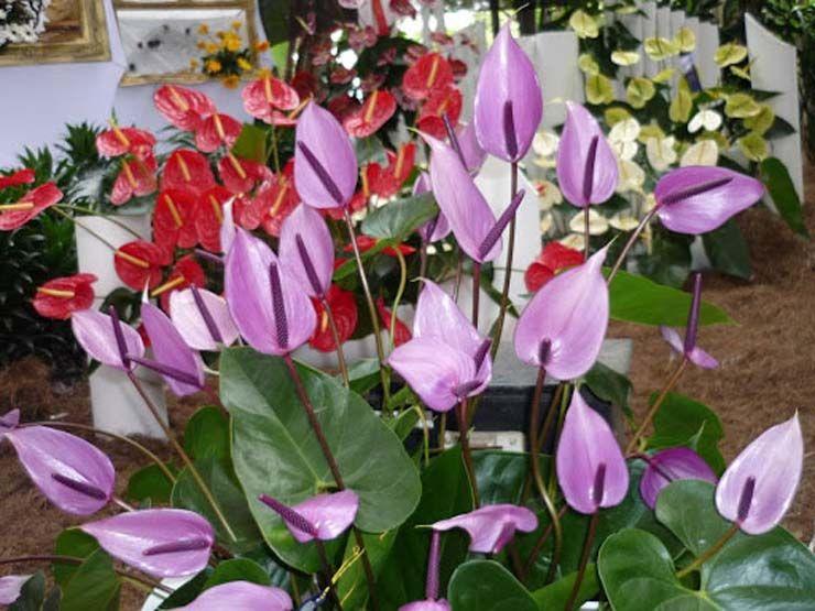 Anturios bellas plantas ornamentales http www for Jardines de anturios