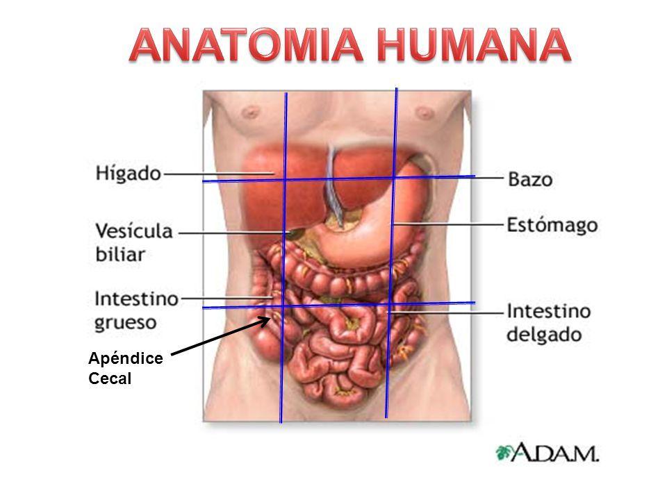 Perfecto Anatomía Humana Apéndice Embellecimiento - Anatomía de Las ...