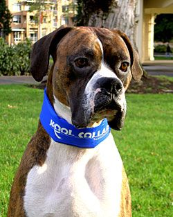 Kool Collar Cooling Collars For Dogs Dogs Rottweiler Facts