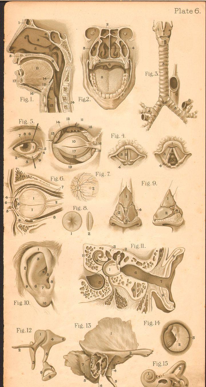 Pin von Елена auf анатомия | Pinterest