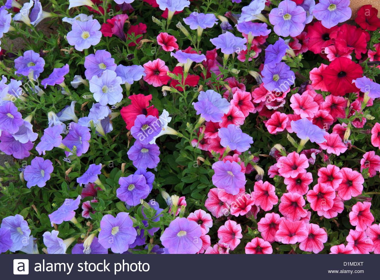 Pictures Of Petunias In Flower Beds Google Search Petunias Flower Beds Flowers