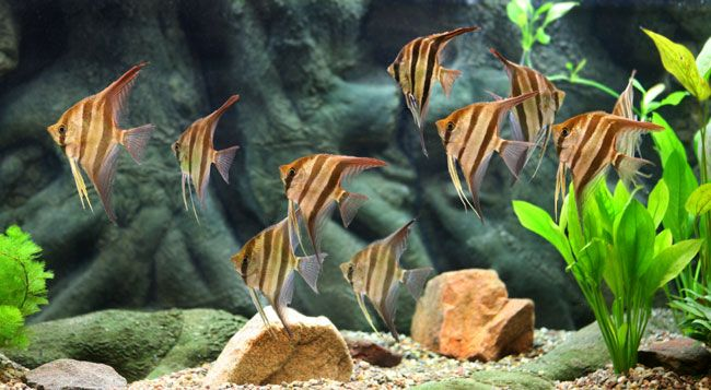 Fish For Fresh Water Aqariums Freshwater Tropical Fish Buy Tropical Fish Online Fish Compatibility Angel Fish Tropical Fish Aquarium Tropical Fish
