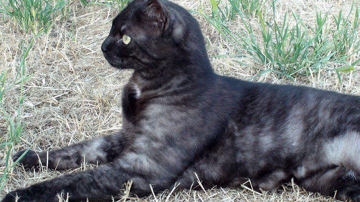 Black Smoke Tabby Cat Super Pretty Black Smoke Cat Feline Anatomy Tabby Cat