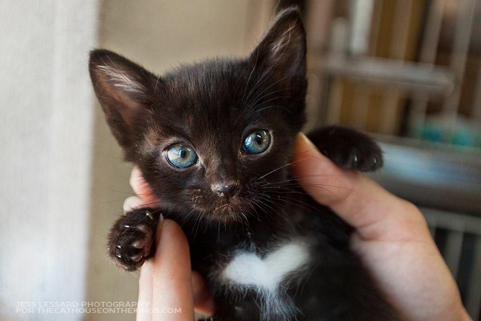 Black Cat White Heart On His Chest Blue Eyes 子猫 キュートな猫 動物 かわいい