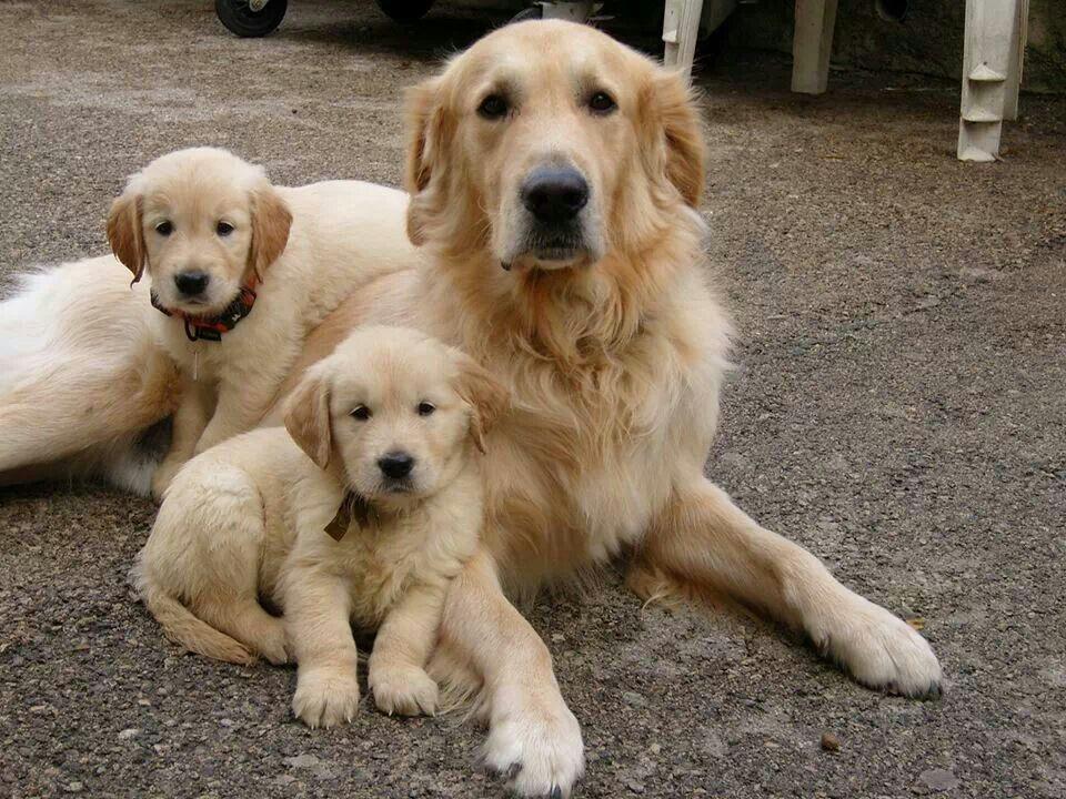 Sweet Golden Retriever Family 3 3 3 Dogs Golden Retriever