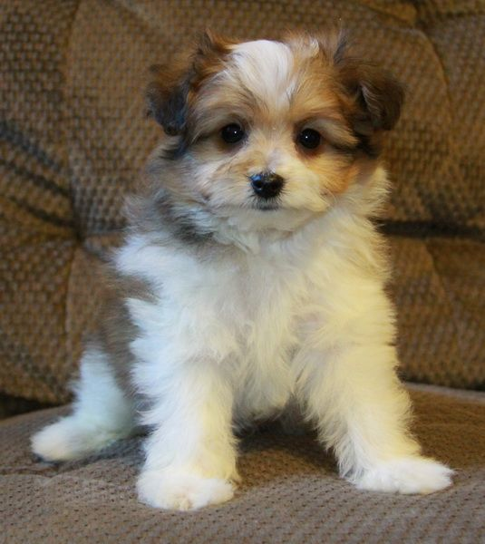 shih tzu pomeranian mix puppies for sale pomeranian x shih tzu cats and dogs pinterest 8090
