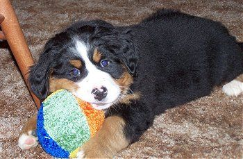 Bernese Mountain Dog If I Knew It Wouldnt Drool A Lot