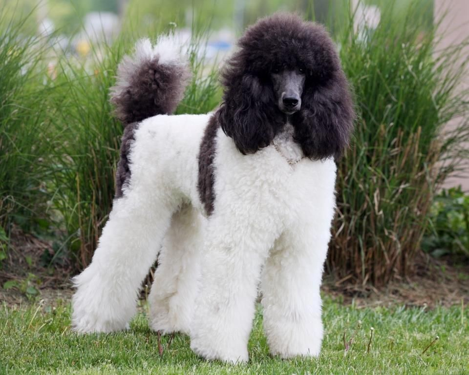 Poodles Smart Active And Proud Parti Poodle Standard Poodle