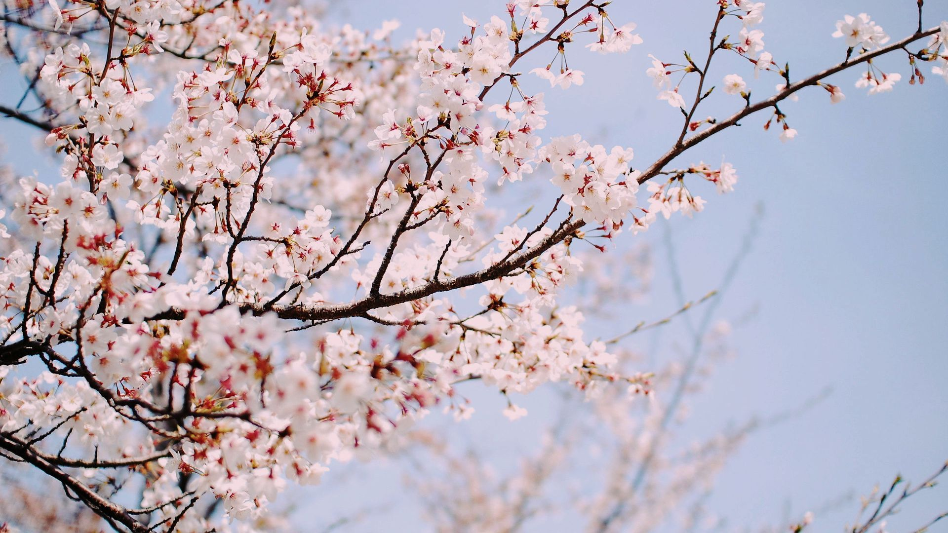 2jae What The Spring Completed Cherry Blossom Background Cherry Blossom Wallpaper Anime Cherry Blossom