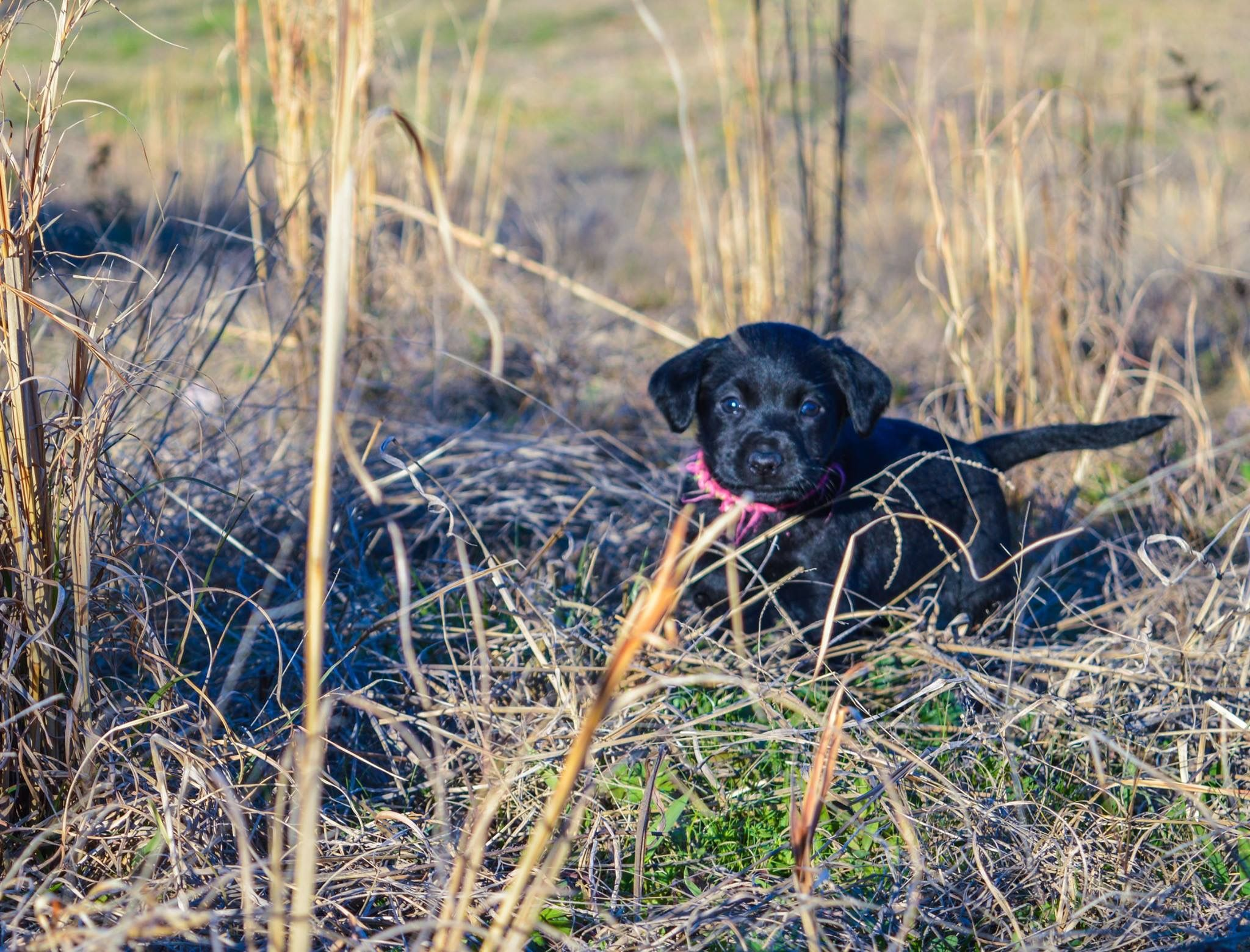 Black Labrador puppy. Photo by Peachy Sweet Photography