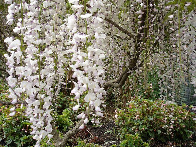 Flowering White Tree