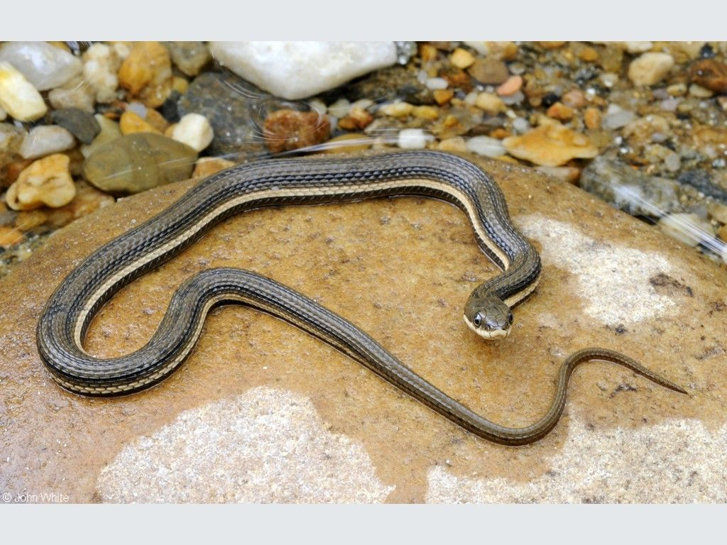 Queen Snake Juvenile Animals Snake Reptiles And Amphibians