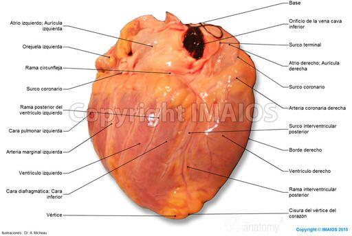 Corazón - Fotografía : Cara diafragmática; Cara inferior, Anatomia ...