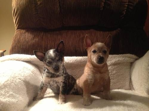Miniature Australian Cattle Dog Puppies