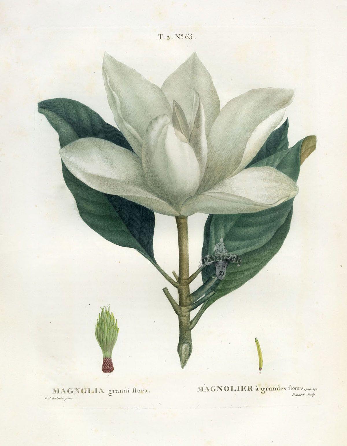 Antique Botanical Prints Redoute 1801 Vintage