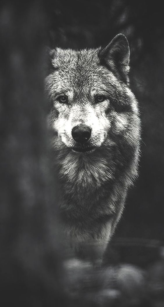 Pin By Rosa On Naturaleza Wolf Wallpaper Wolf Pictures