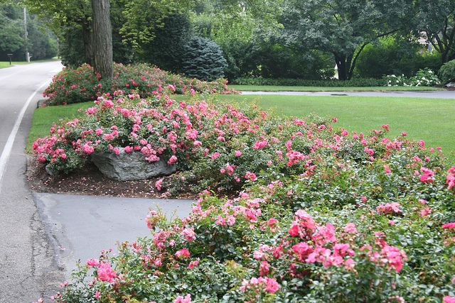 Roses In Garden: Flower Carpet Pink Supreme Roses In Landscape
