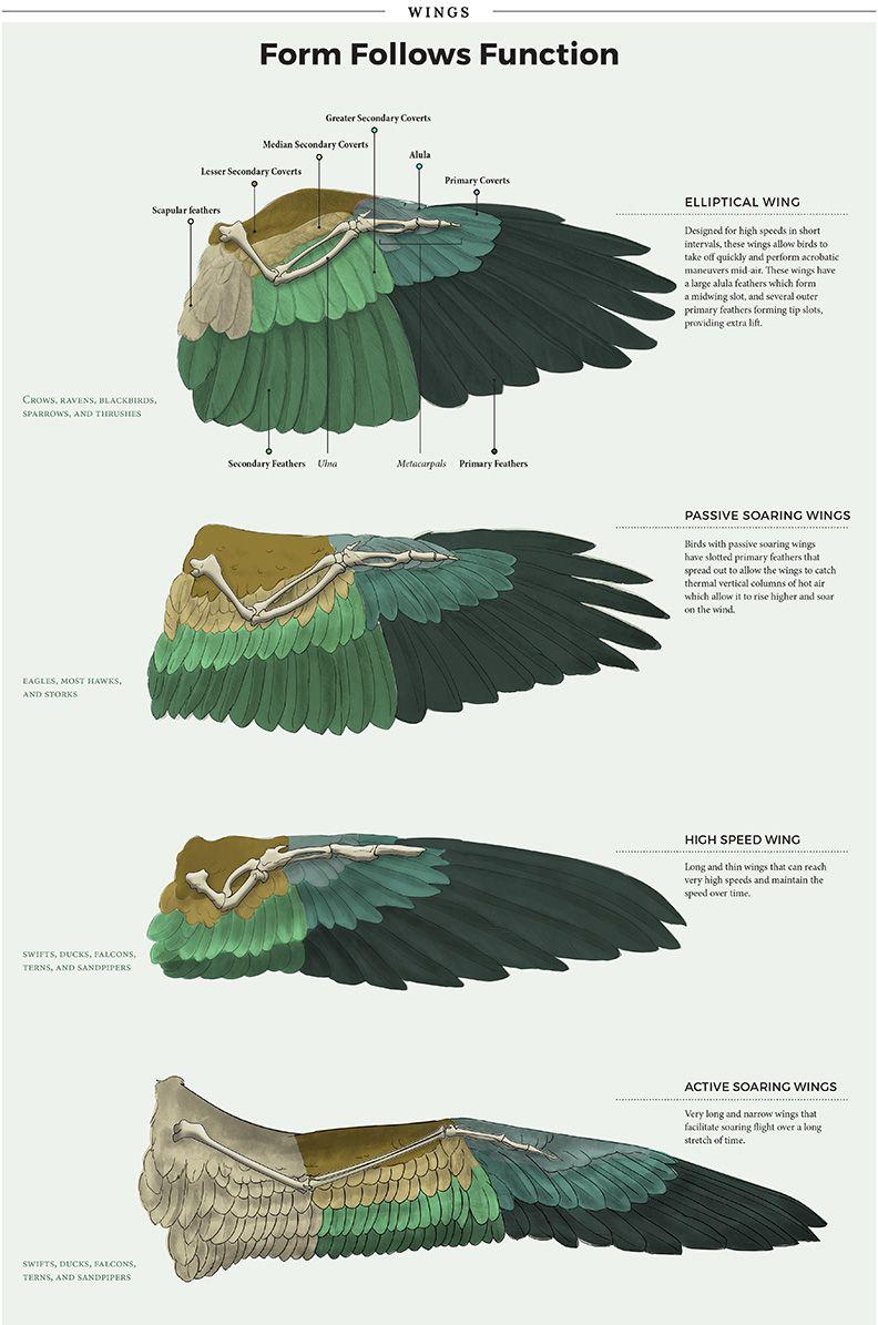 bird wings anatomy - HD792×1195