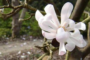 Magnolia Stellata Rubra Gardens Botanical Gardens Garden
