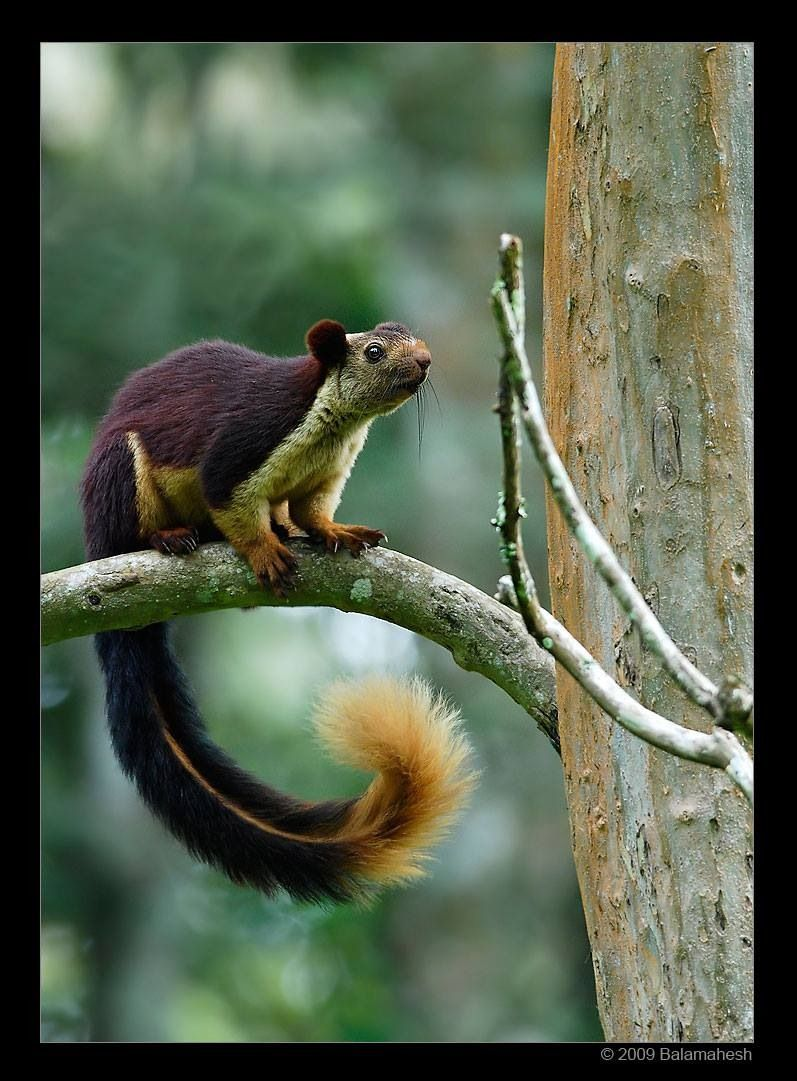 Giant Indian squirrel ...