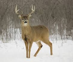 Image result for deer muscle anatomy | animals | Pinterest | Muscle ...