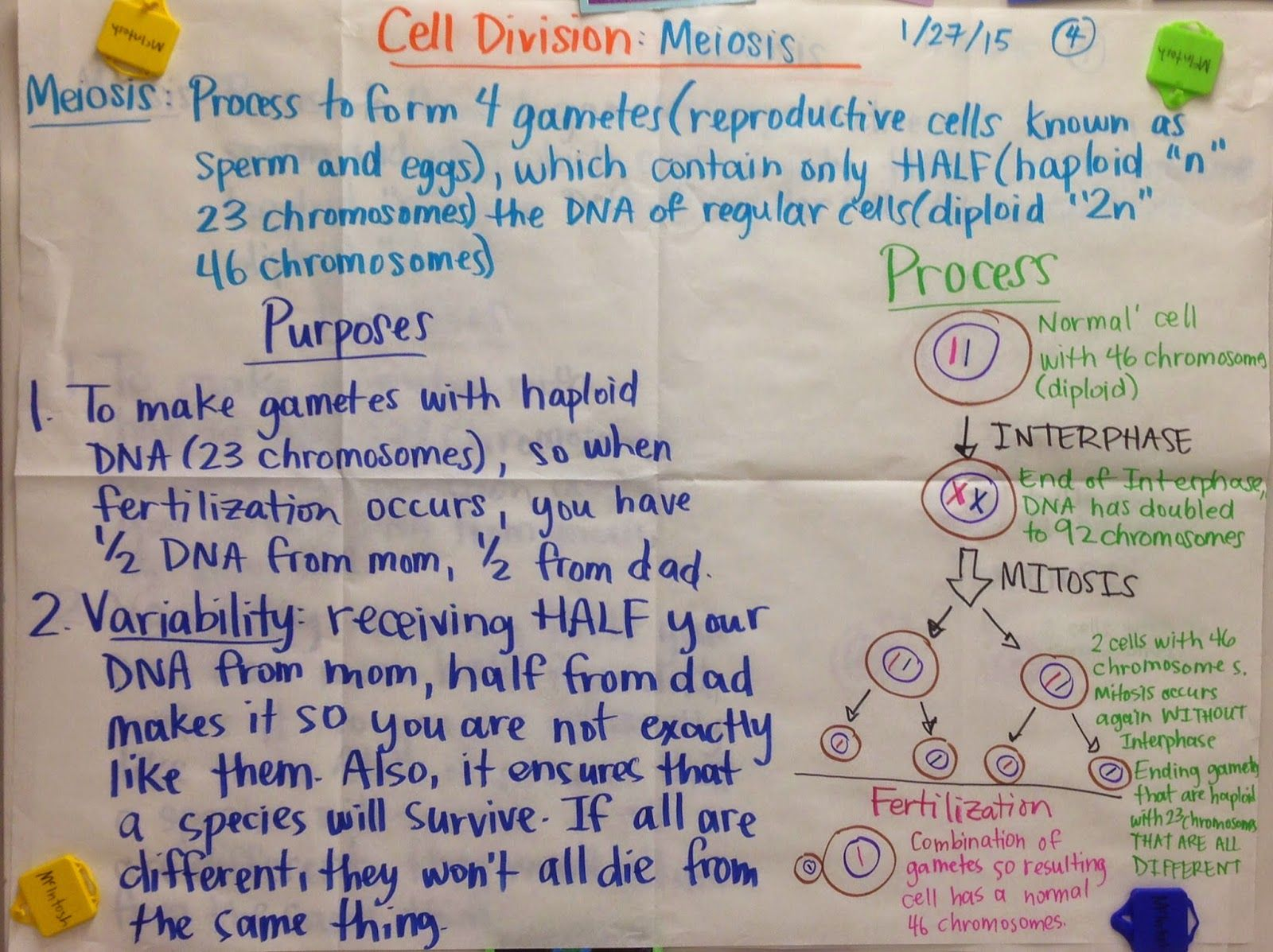 What idea did hardy and weinberg disprove - Mrs Paul Biology Cell Division Meiosis Glad Anchor Charts Notes