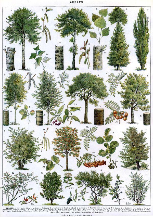 French tree illustration