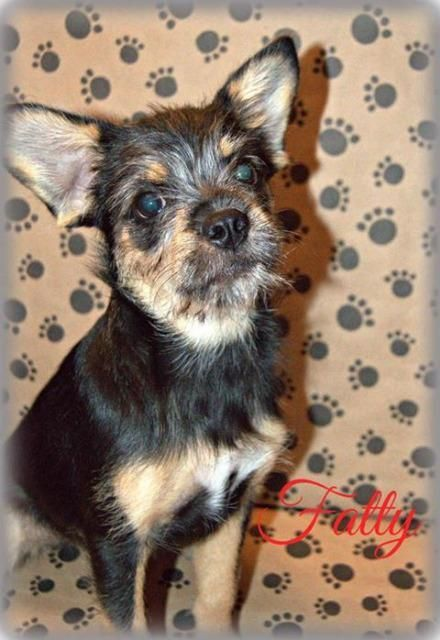 Fancy Is An Adoptable Chihuahua Searching For A Forever Family Near Miami Ok Use Petfinder To Find Adoptable Pets In Your Animal Lover Animals Animal Shelter