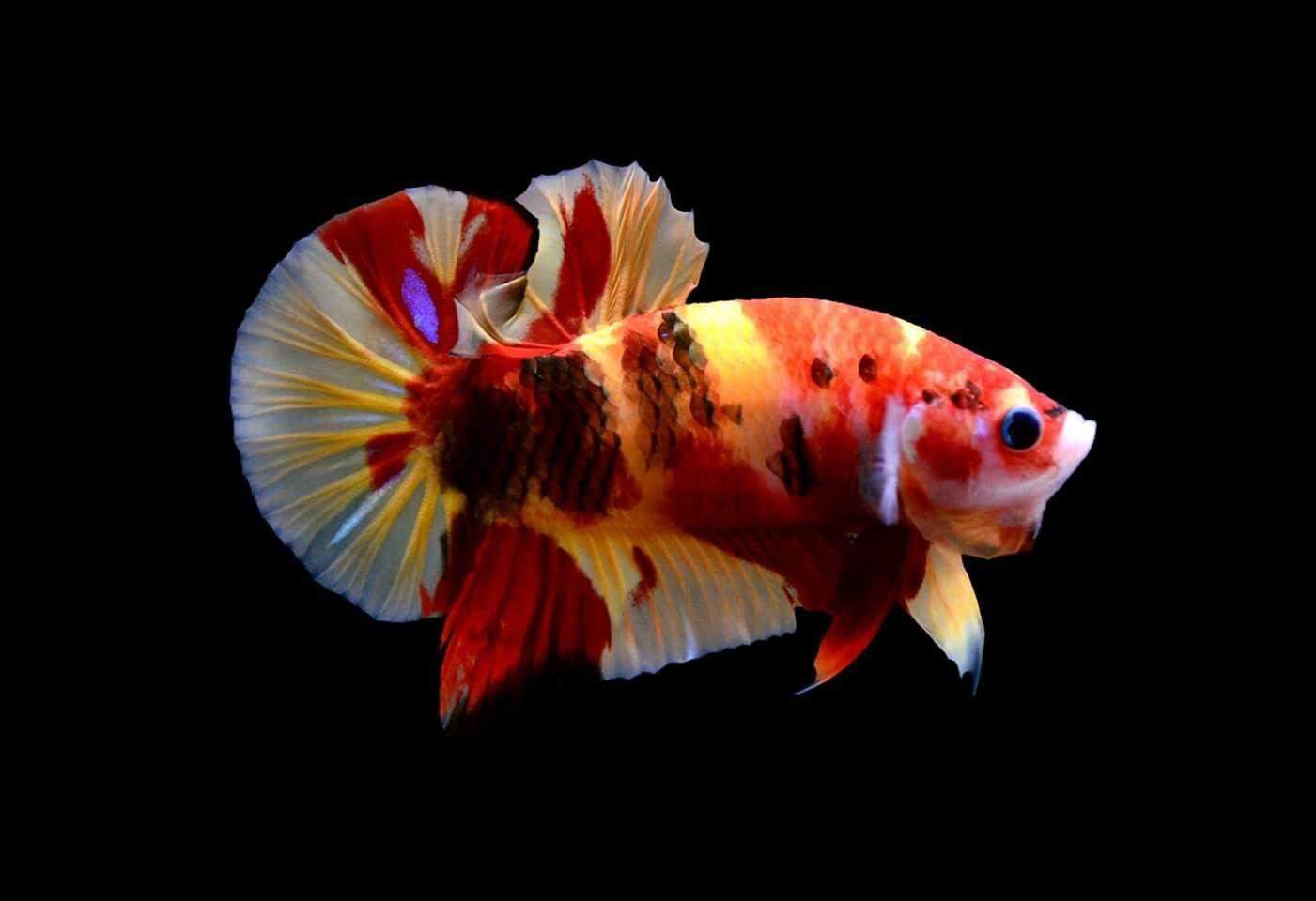 Plakat emerald Bandung betta fish | Bandung betta fish | Pinterest ...