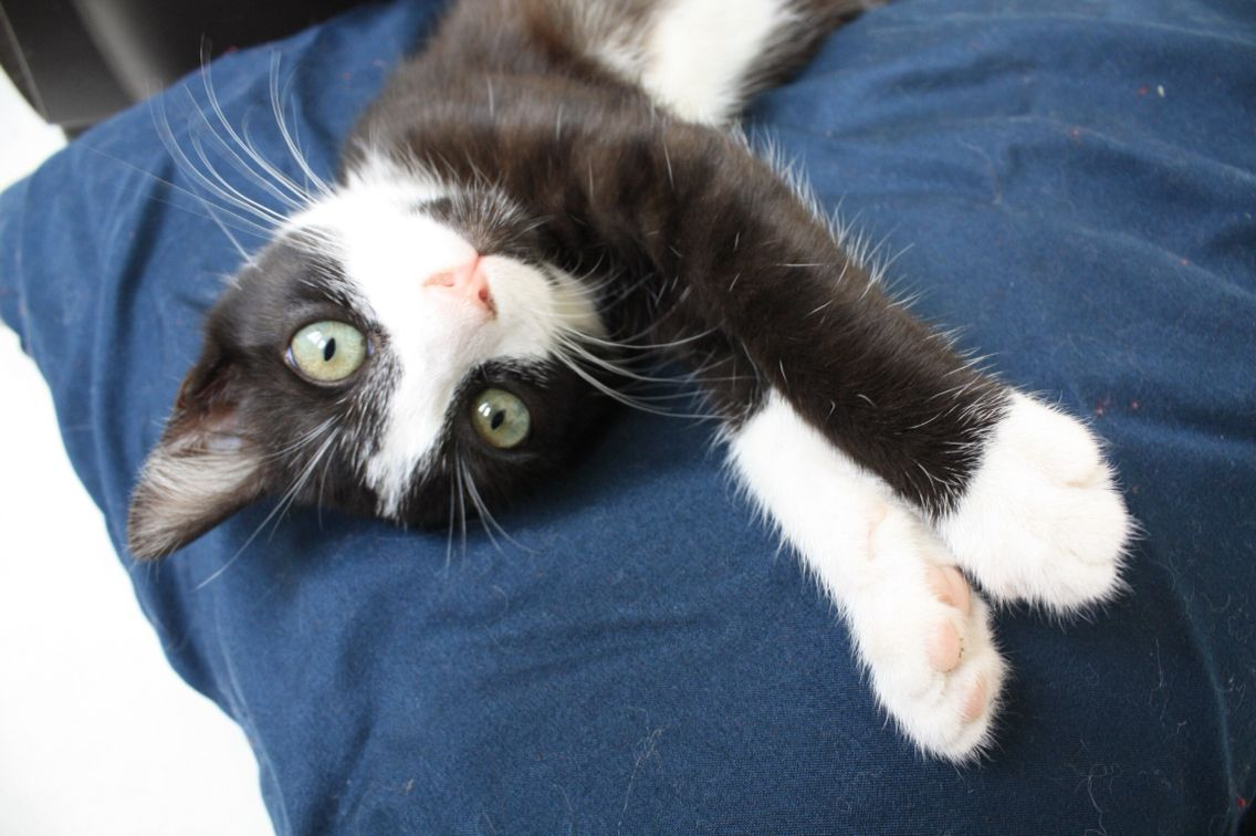 Hi! I am a cute tuxedo kitten available for adoption in