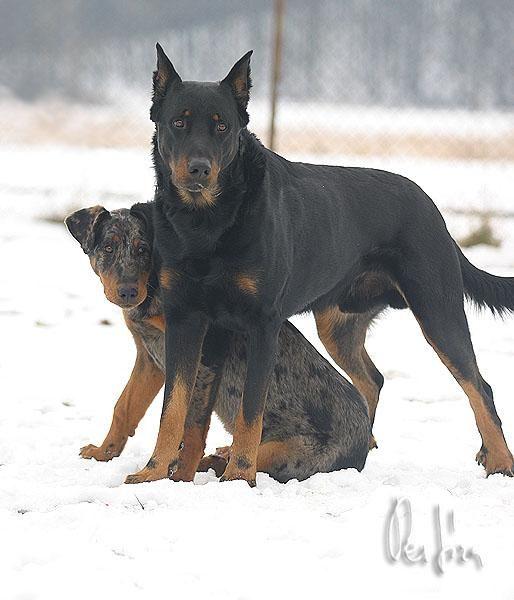 Fotky Beauceron Foto Obrazky Dog Breed Info Dog Breeds Herding Dogs
