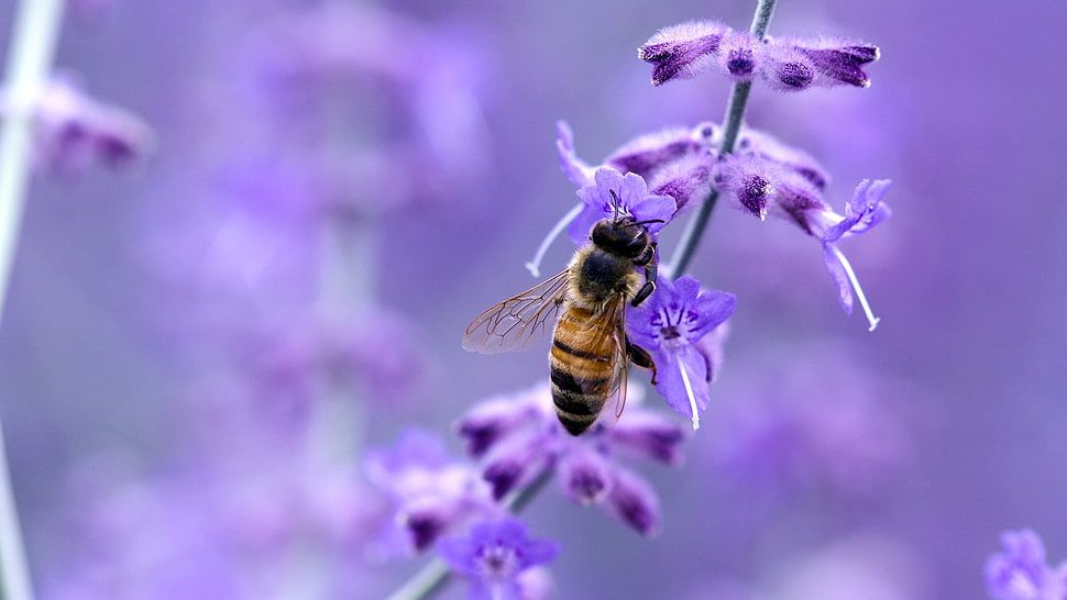 Honey Bee On Lavender Flower Hd Wallpaper Bee Pictures Cartoon
