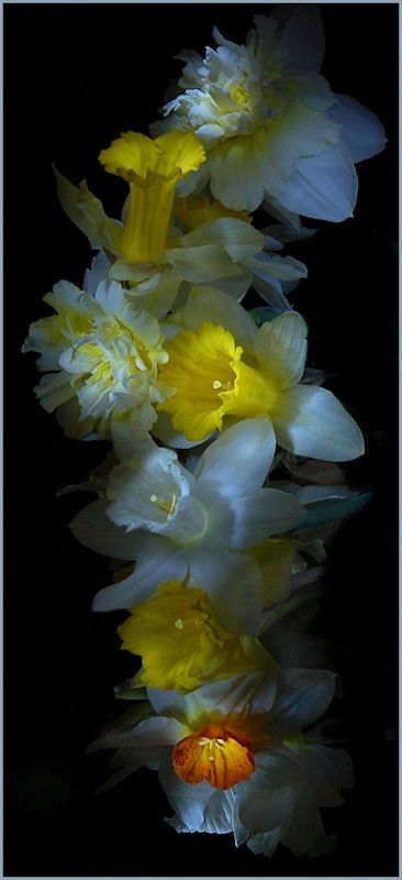 Daffodils-lovely composition