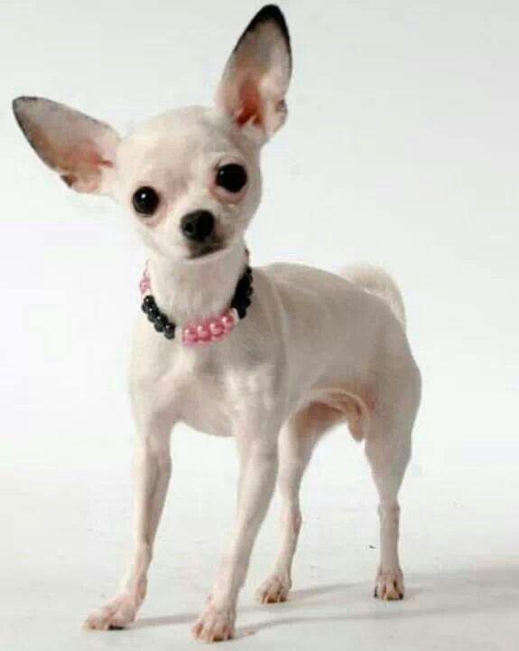 White Chihuahua