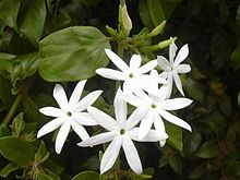 List of Jasminum species - Wikipedia, the free encyclopedia