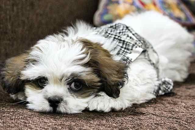 Non Shedding Small Dogs 2 Dog Training Obedience Dog Training Dog Breeds