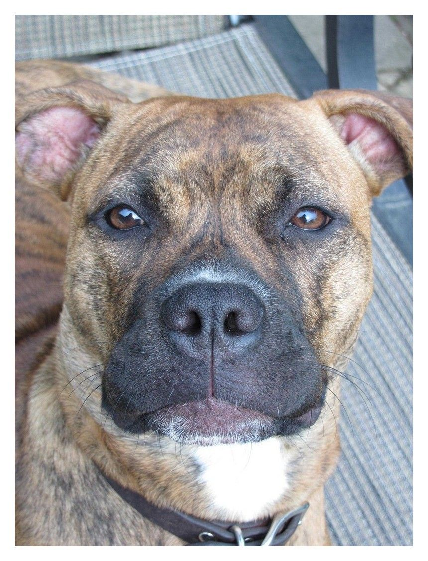 Easy Ways To Improve Your Life With Your Dogs Pitbull