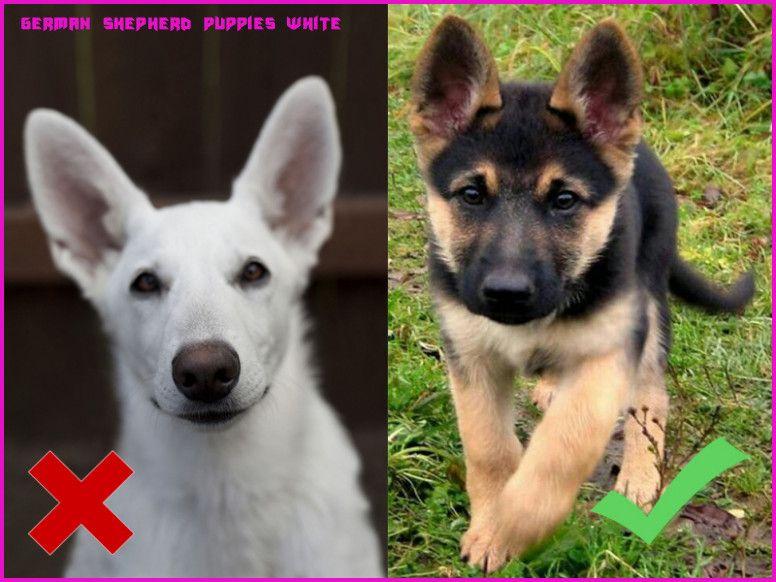 black german shepherd puppies for sale near me craigslist