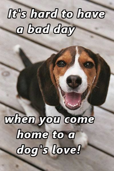 Not When Your Dog Did Something Bad In The House Beagle Dog