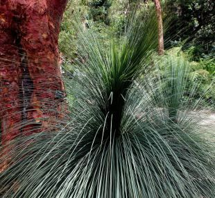 Xanthorrhoea (Grass Tree)