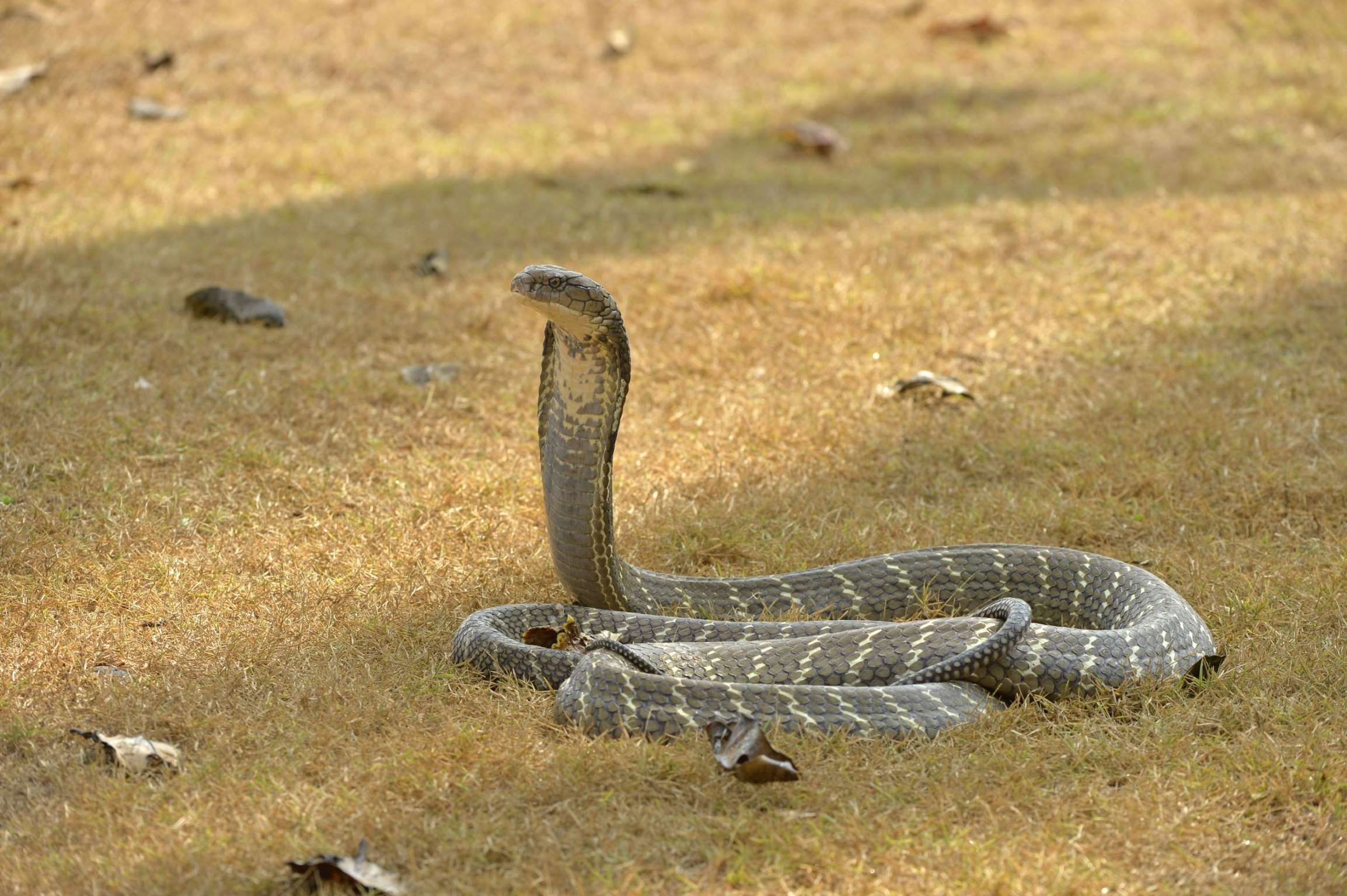 Indian Cobra What S It Smiling About Just Spotted Lunch With
