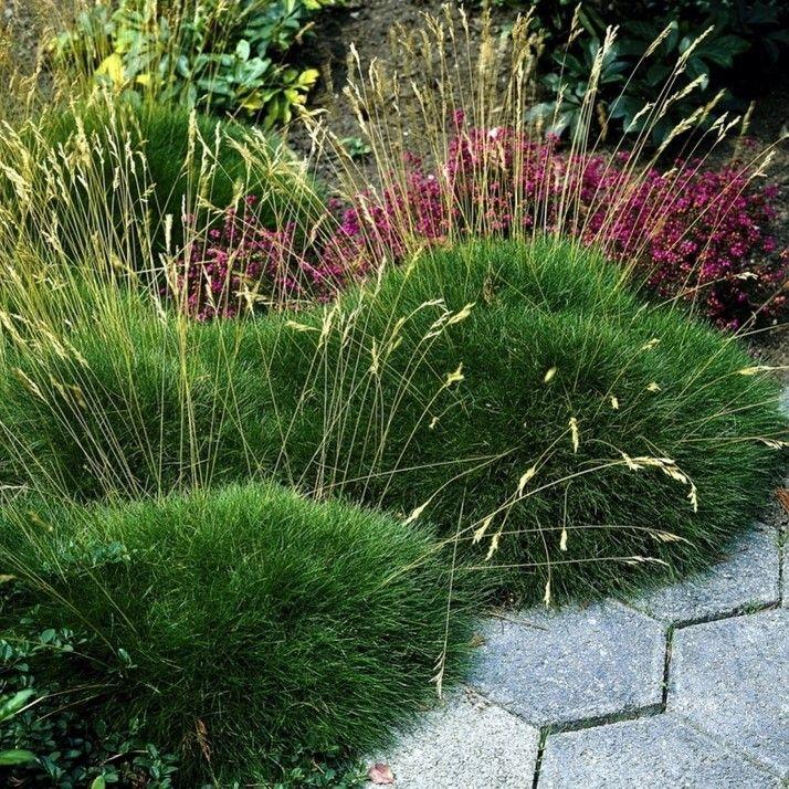 B renfellgras set mit 3 stauden festuca scoparia das b renfell gras zeichnet sich durch - Garten ohne gras ...