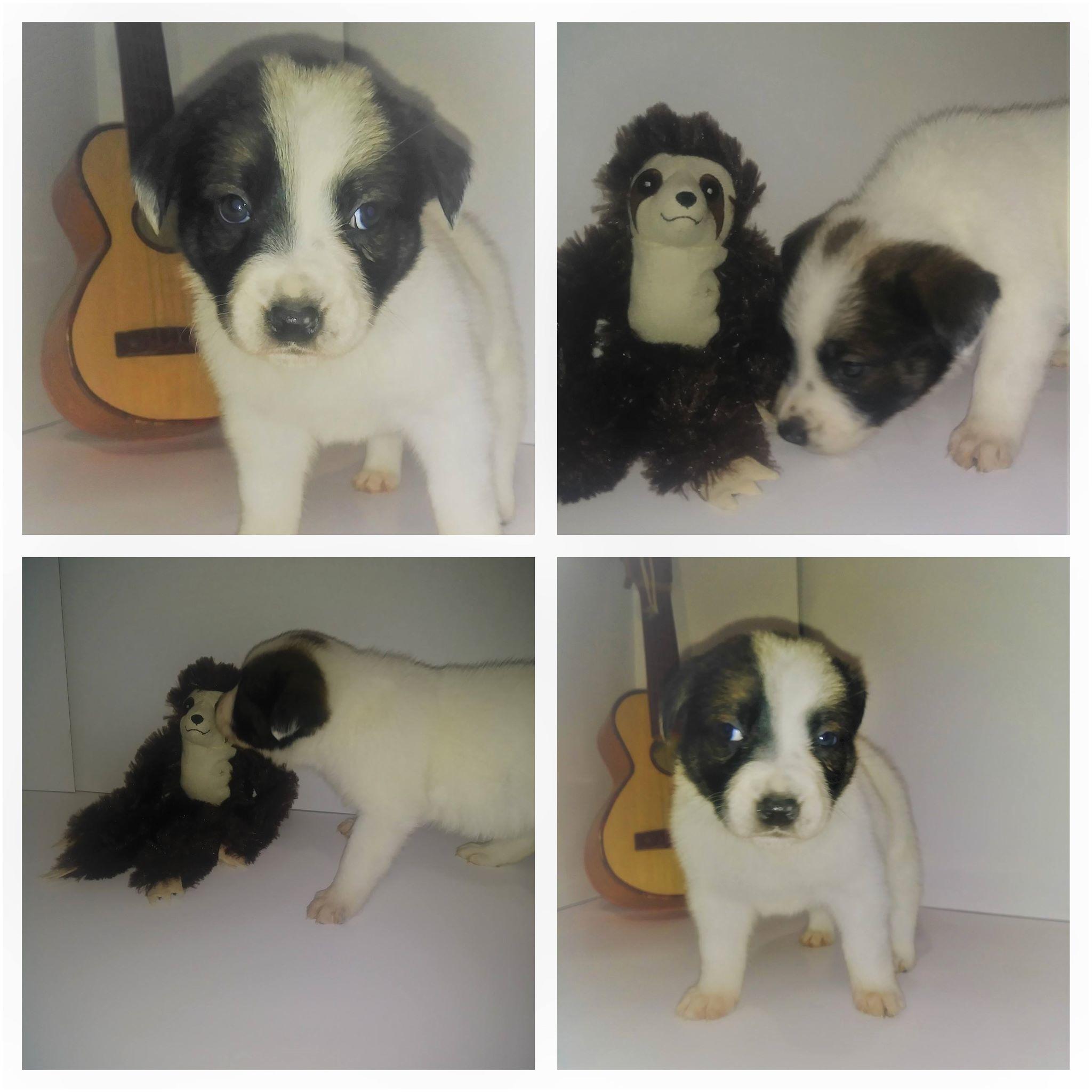 Adopt Border Collie Mix Puppies On Border Collie Mix Puppies