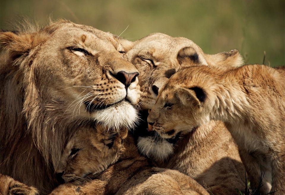 loving lion family photo