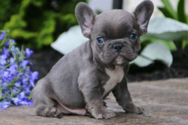 Royalbluefrenchbulldogs Com Is On Sale For These Healthy French Bulldog Puppies In Sydney And Australia Bulldog Puppies French Bulldog Bulldog Puppies For Sale