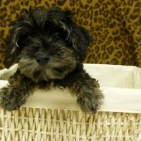 Morkie Poo Male How Cute Is That Face He S In Our Emerson Nj Store Morkie Puppies Puppy Love