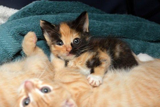 Calico Kitten Rescue Story To Forever Home Kittens Kittens