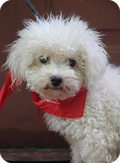Dalton Ga Poodle Miniature Bichon Frise Mix Meet Lily A Dog
