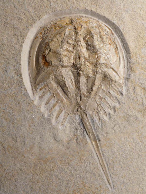 UVENILE HORSESHOE CRAB FOSSIL FROM THE JURASSIC PERIOD OF SOLNHOFEN GERMANY  Solnhofen Lithographic Limestone Formation - Solnhofen, Germany