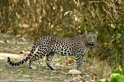 leopards - Google Search